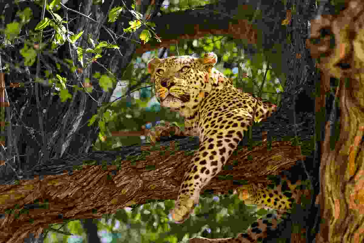 A leopard hanging out in the Moremi Game Reserve, Botswana (Dreamstime)