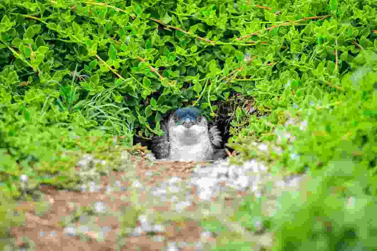 A penguin peeking out on Phillip Island, Australia (Shutterstock)