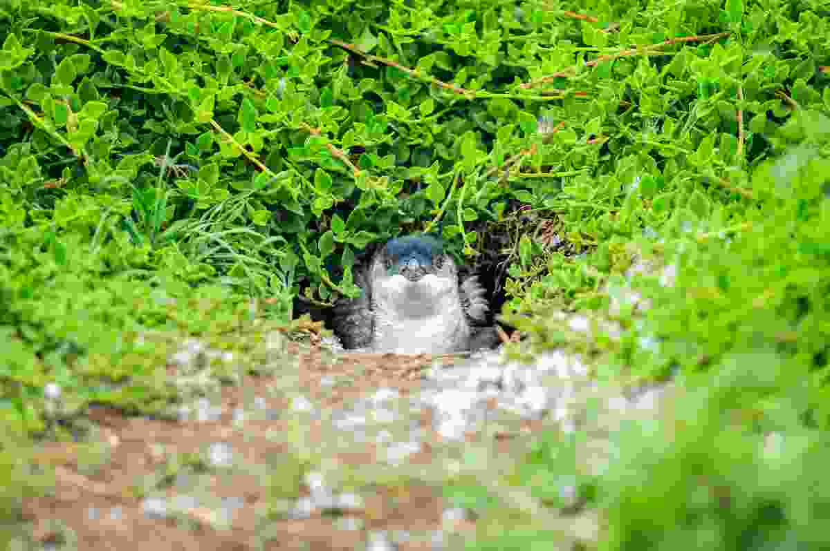 A penguin peeking out on Phillip Island, Australia (Shutterstock)