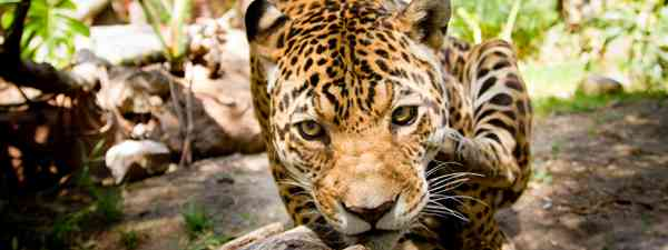 A jaguar comes close to the camera in the Pantanal, Brazil (Shutterstock)