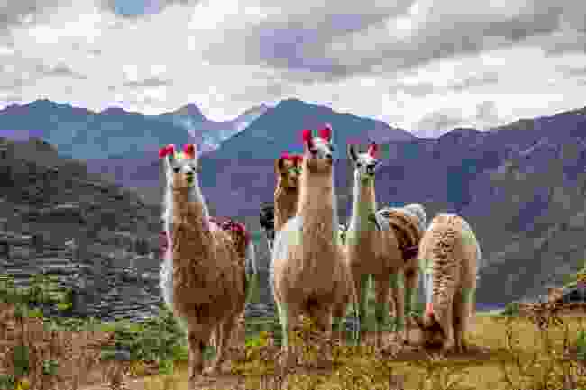 Llamas in Peru (Shutterstock)