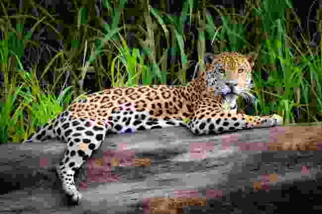 A jaguar resting by the Tambopata river, in the Peruvian Amazon (Shutterstock)
