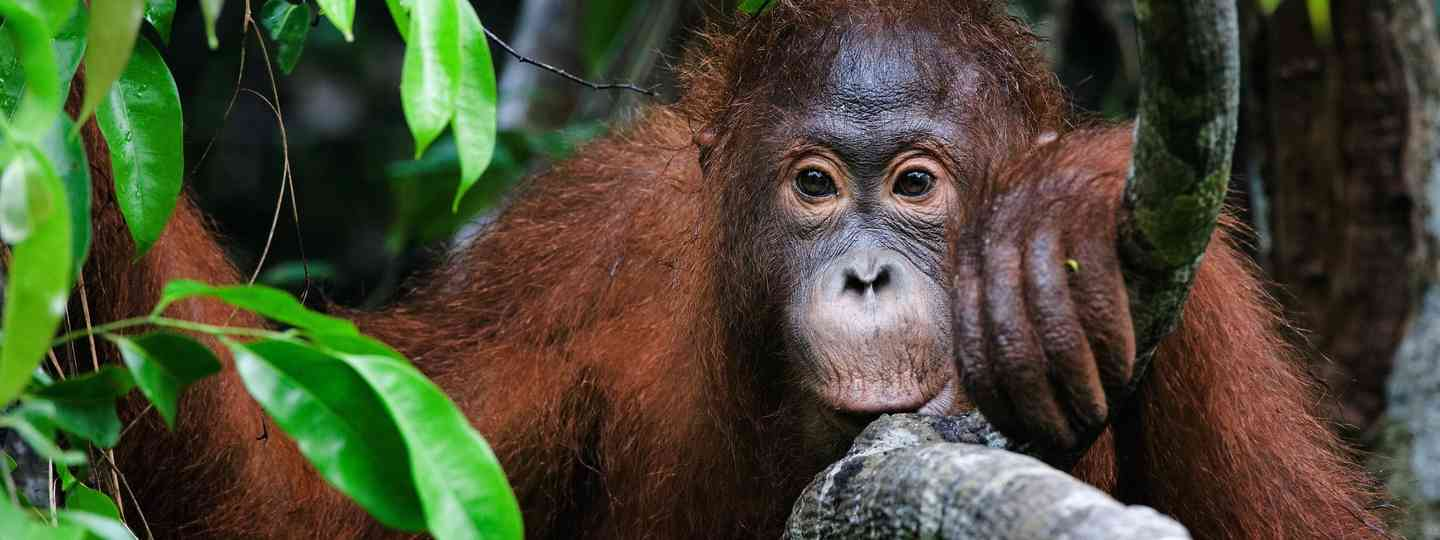 Portrait of a young orangutan (Dreamstime)