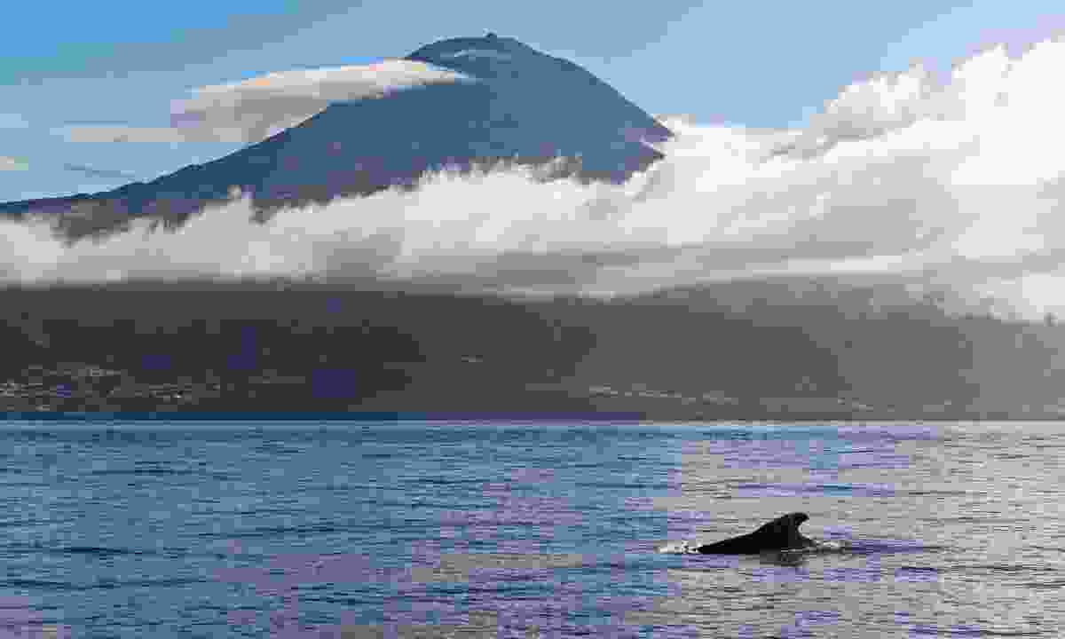 A whale near Mount Pico in the Azores (Shutterstock)