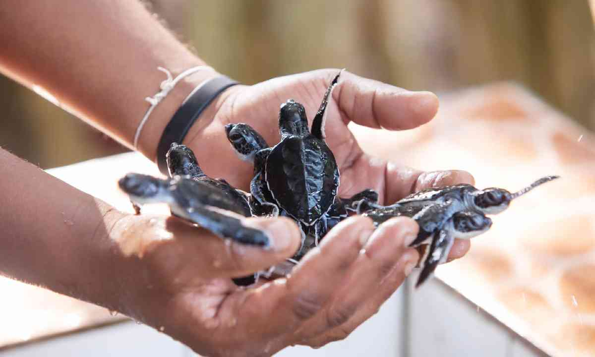 Sea turtle conservation in Sri Lanka (Shutterstock)