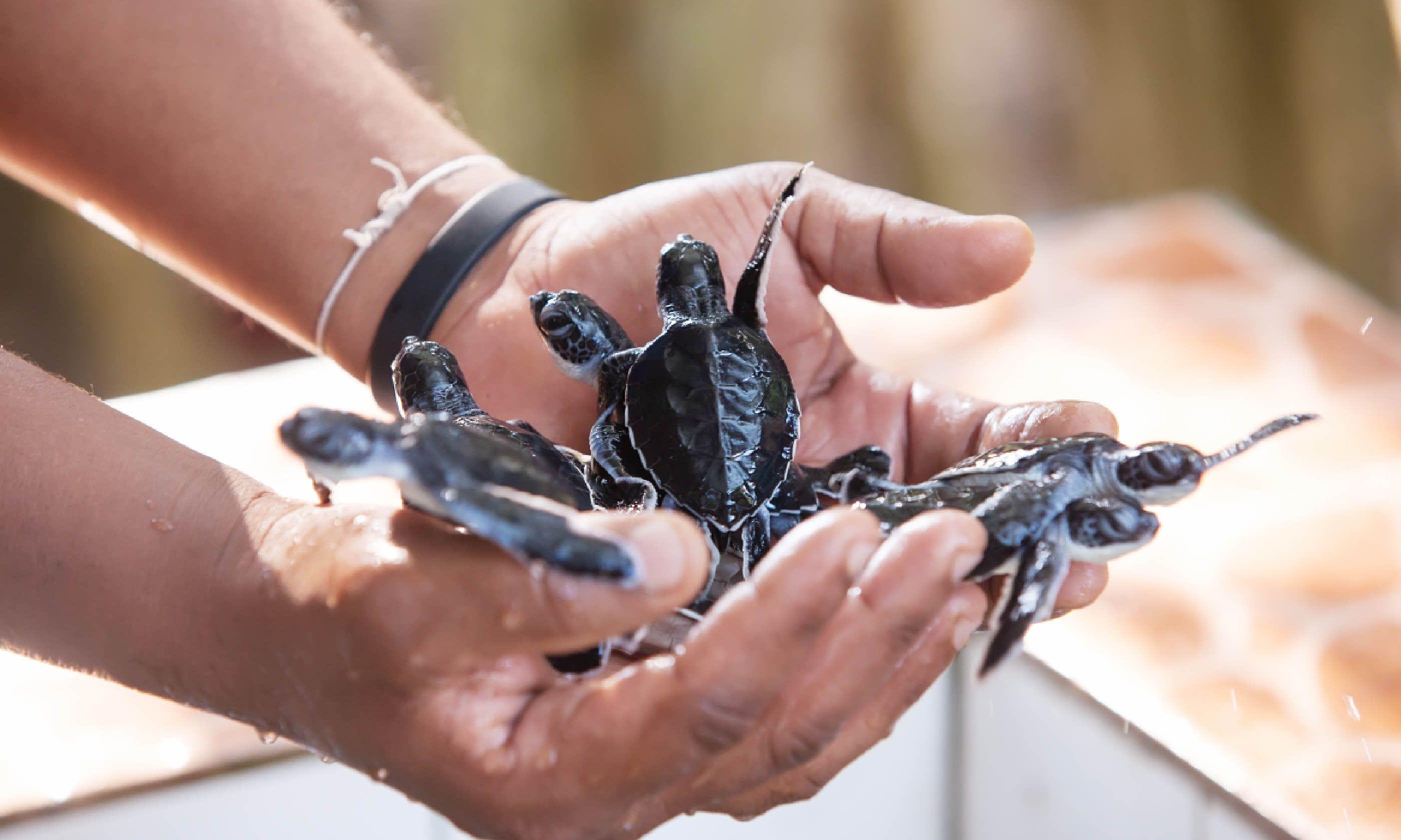 Sea turtle conservation in Sri Lanka (Shutterstock)
