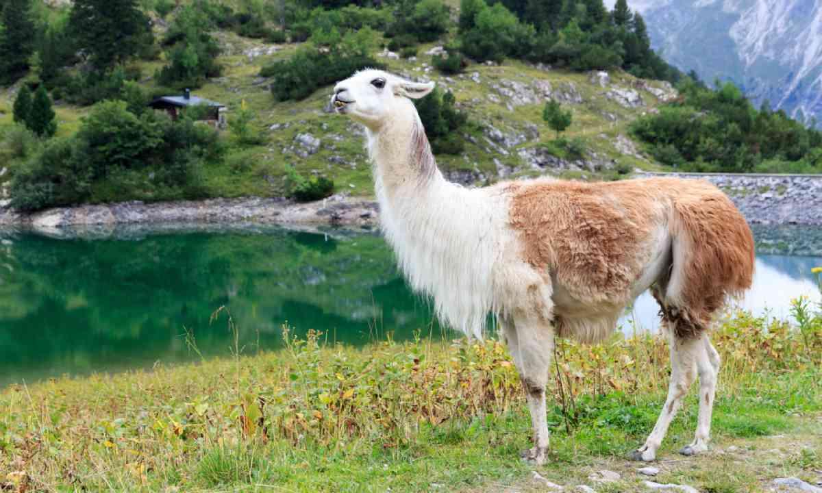 Llama in Austria (Shutterstock)