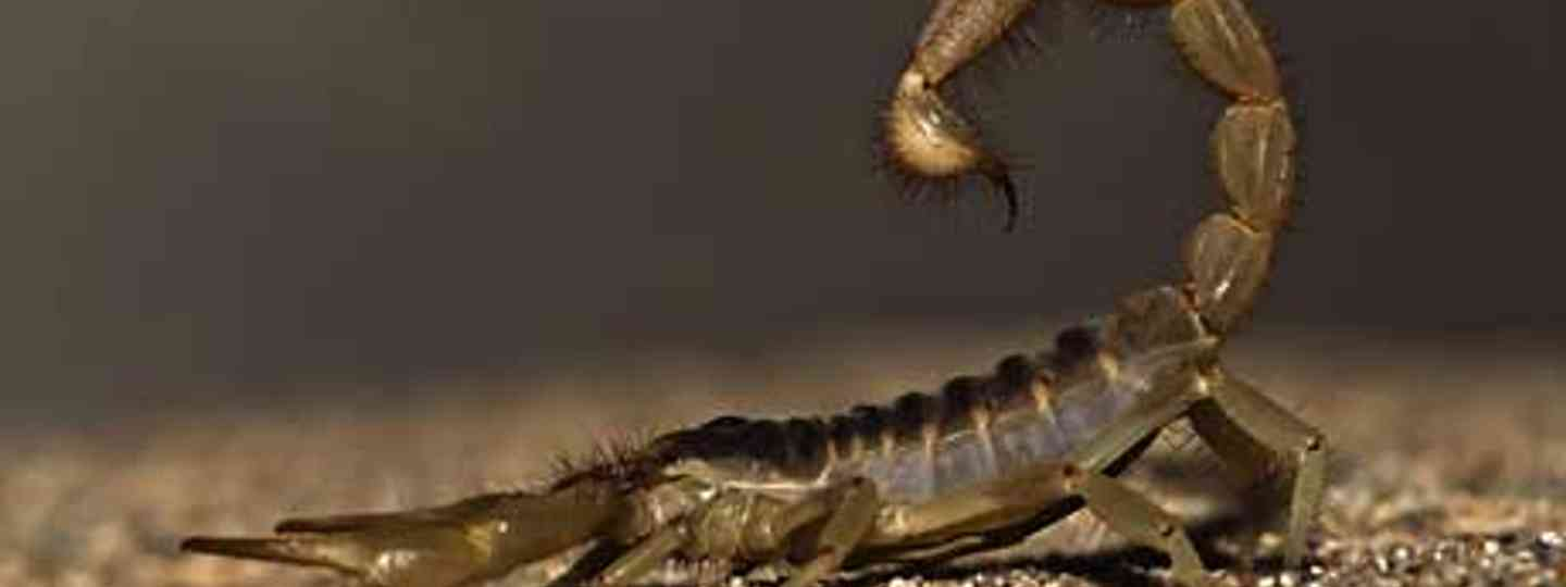 A scorpion sting can cause a major health scare (Mike Baird)