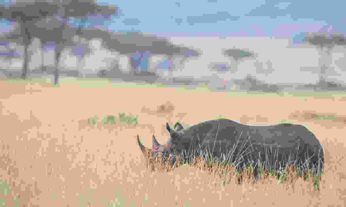 A rhino in Zimbabwe (Shutterstock)