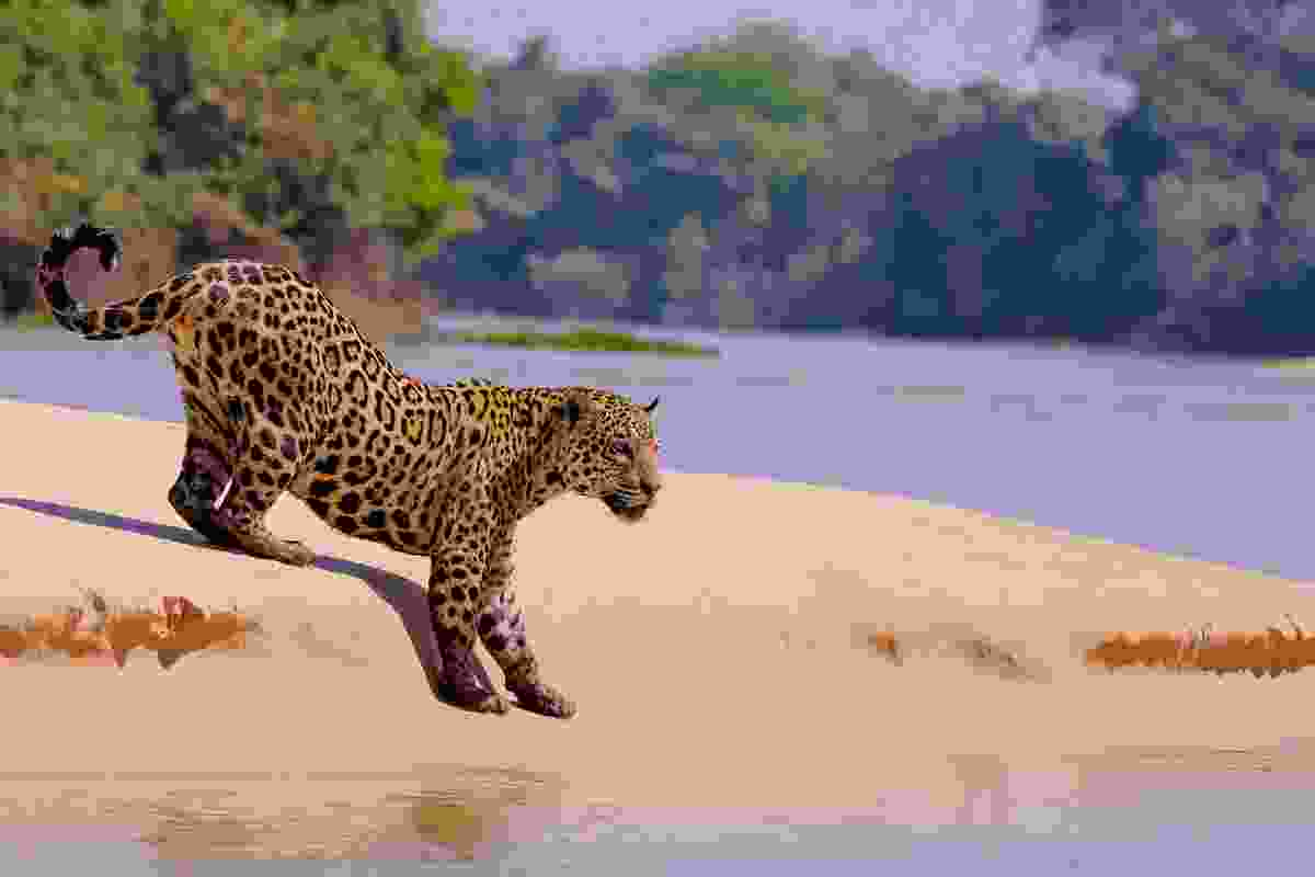 A jaguar ready to pounce, along the Cuiabá, in Brazil's northern Pantanal (Shutterstock)