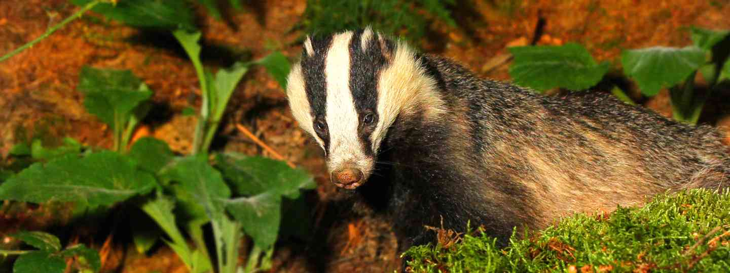 Badger (Jon Hawkins Surrey Hills Photography)