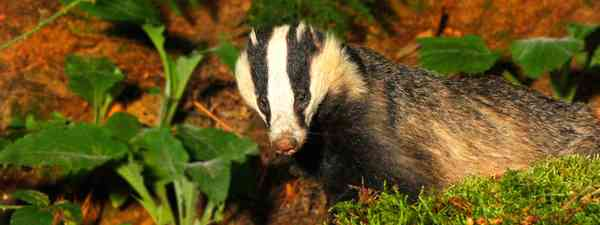 Badger (Jon Hawkins Surrey Hills Photography)