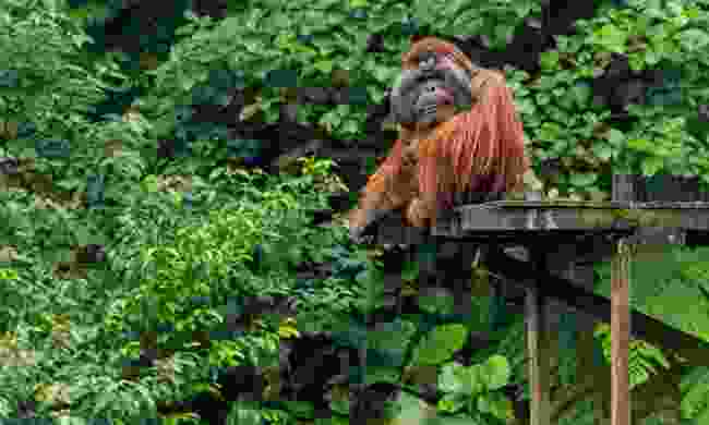 An orangutan waiting for your help in the Matang Wildlife Centre (Shutterstock)