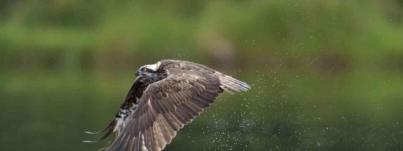 Osprey (Andrew J Mason)