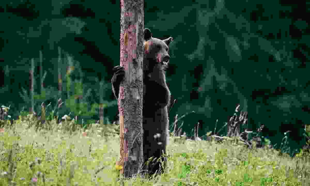 A Carpathian brown bear in the Romanian wilderness (Shutterstock)
