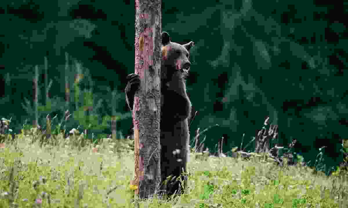A Carpathian brown bear in the Romanian wilderness (Shutterstock)