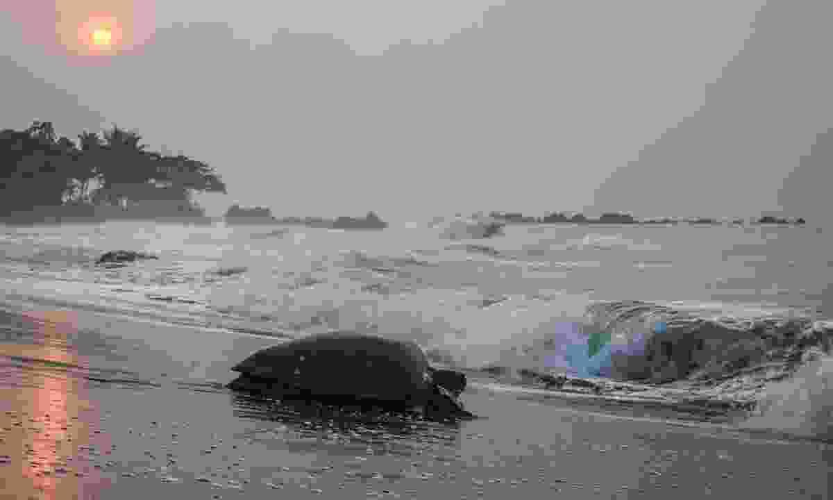 Green Turtle heads to sea at sunrise in Equatorial Guinea (Shutterstock)