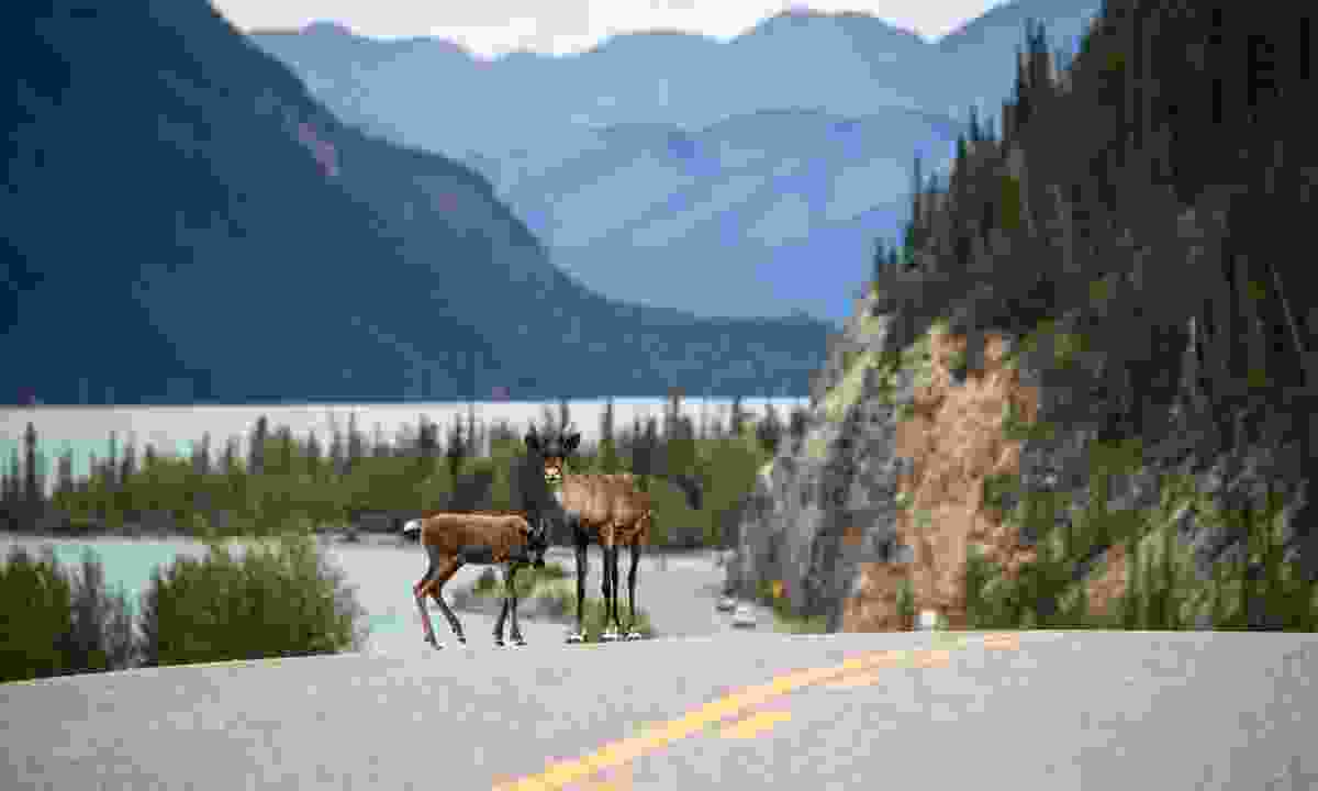 Two caribou on the Alaska Highway (Destination BC/Andrew Strain)