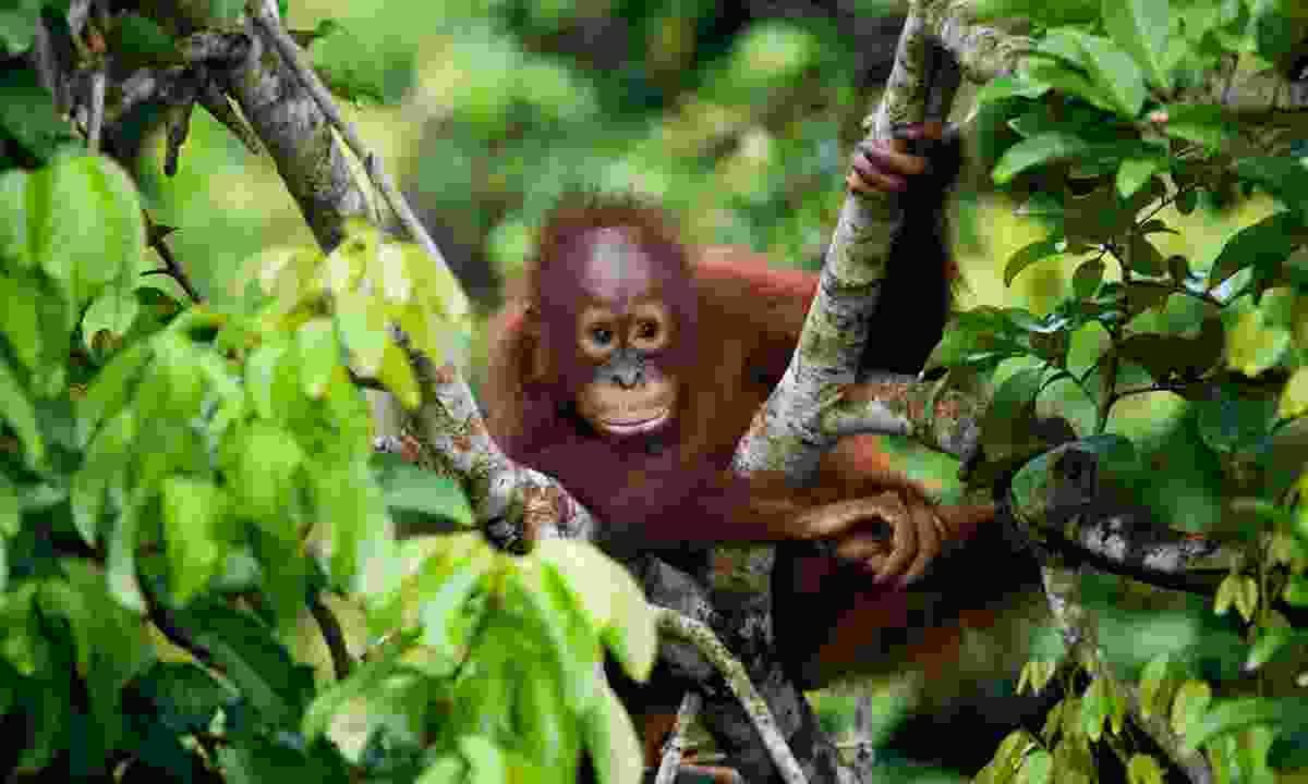 A young orangutan in Borneo (Shutterstock)