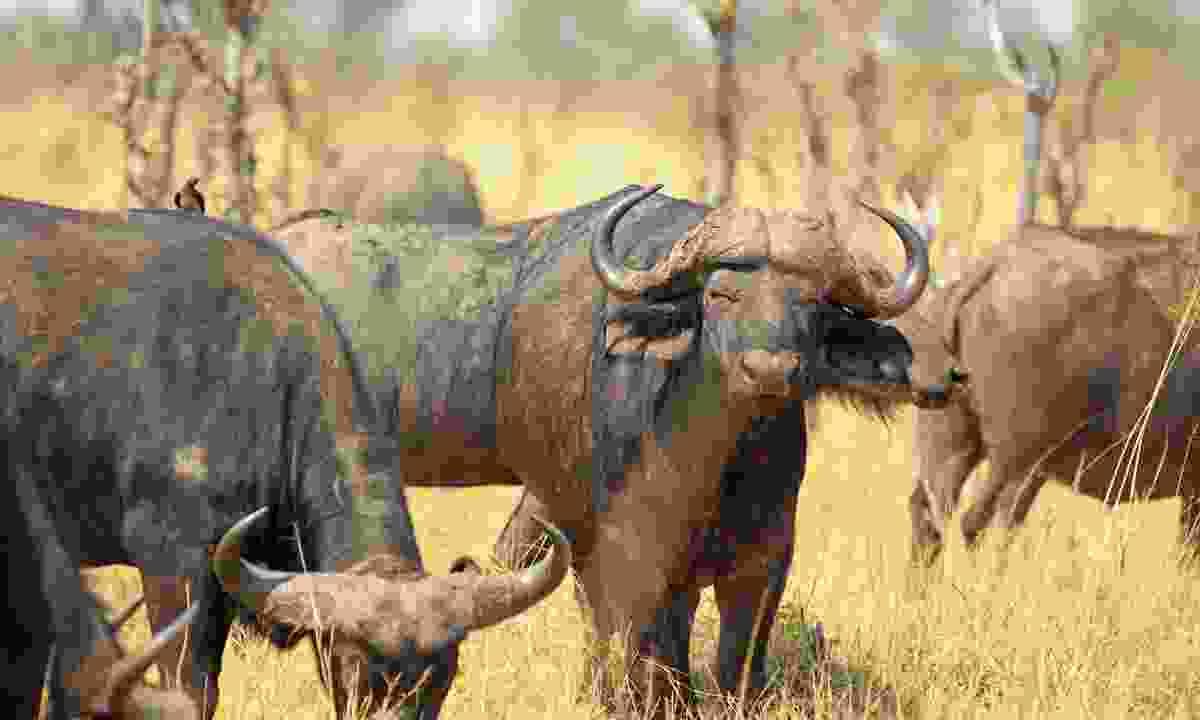 Buffalo in Zimbabwe (Shutterstock)