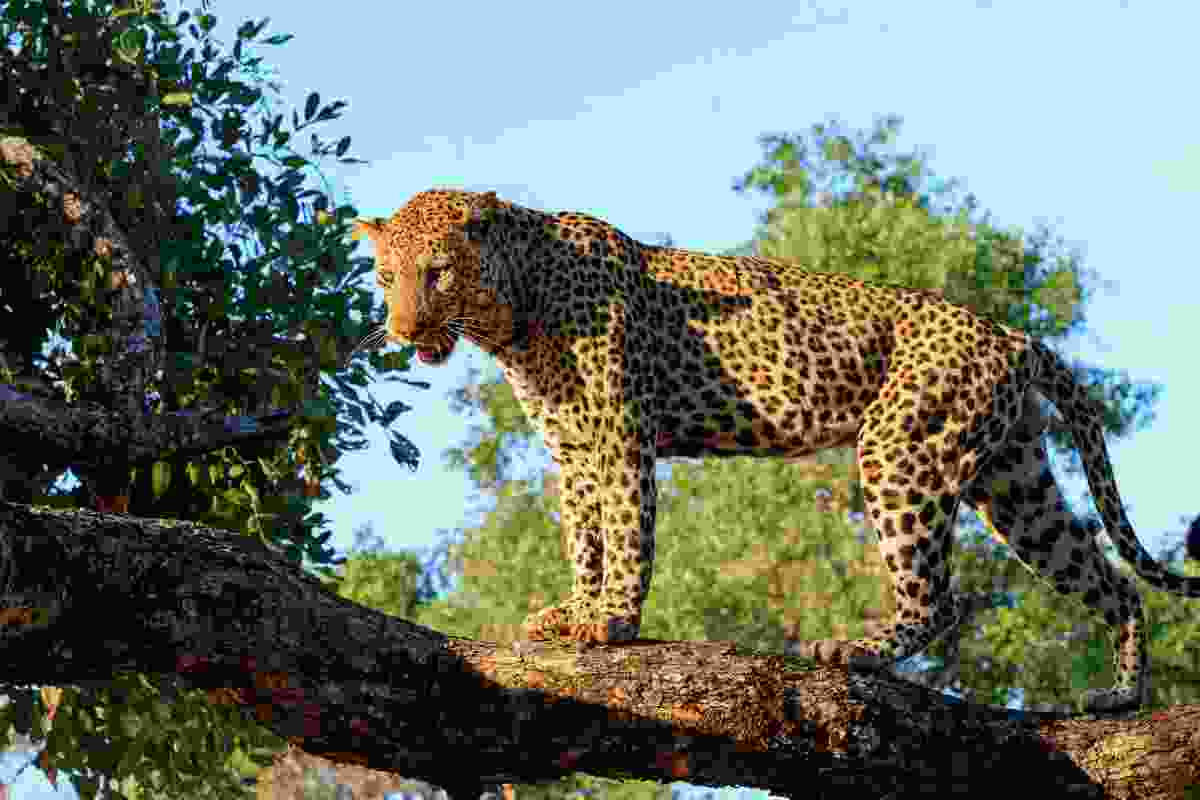 A leopard looms over South Luangwa National Park in Zambia (Dreamstime)