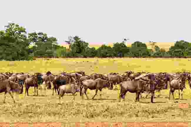 A small herd of wildebeest in the Masai Mara Reserve in Kenya (Dreamstime)