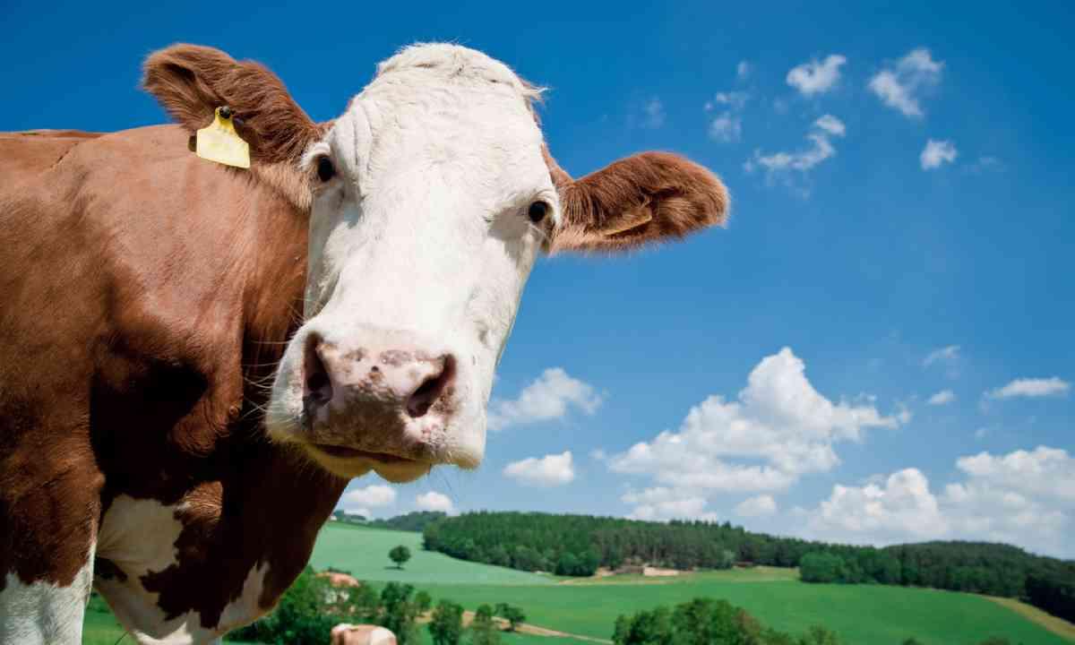 Austrian dairy cow (Shutterstock)