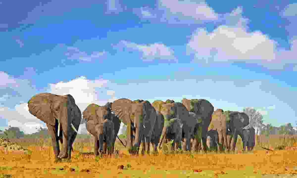 Large herd of elephant in Hwange National Park (Shutterstock)