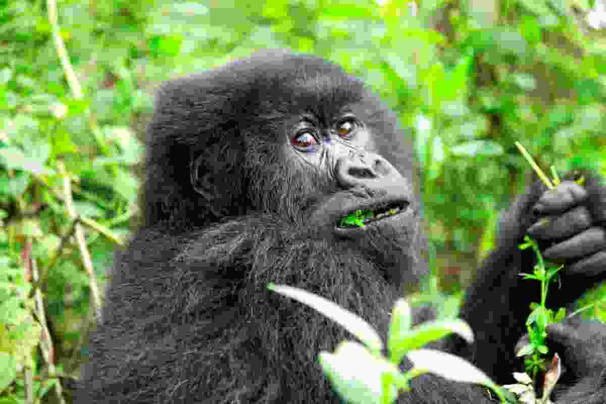 A mountain gorilla is Volcanoes National Park, Rwanda (Dreamstime)