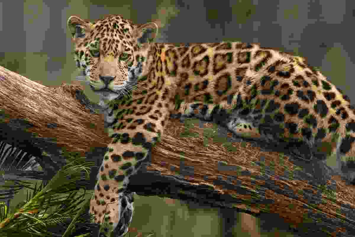 A jaguar perched on a tree trunk (Shutterstock)