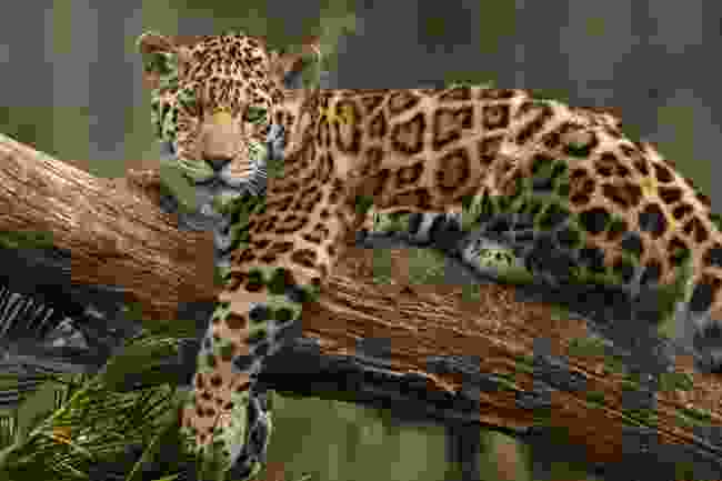 A jaguar perched on a tree trunk (Shutterstock)