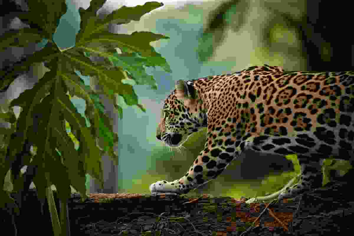 A jaguar roaming in Belize, Central America (Shutterstock)
