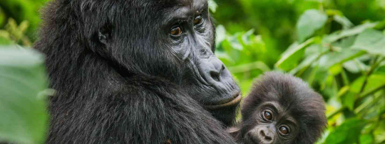 Female mountain gorilla with baby. Uganda (Shutterstock)