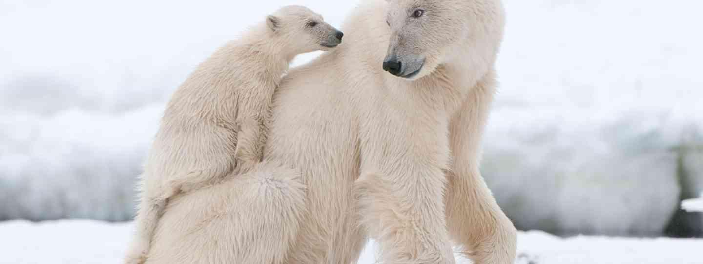 Polar Bears (Dreamstime)