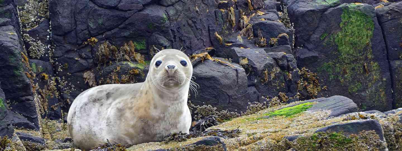 Grey seal pup in Farne Islands (Dreamstime)