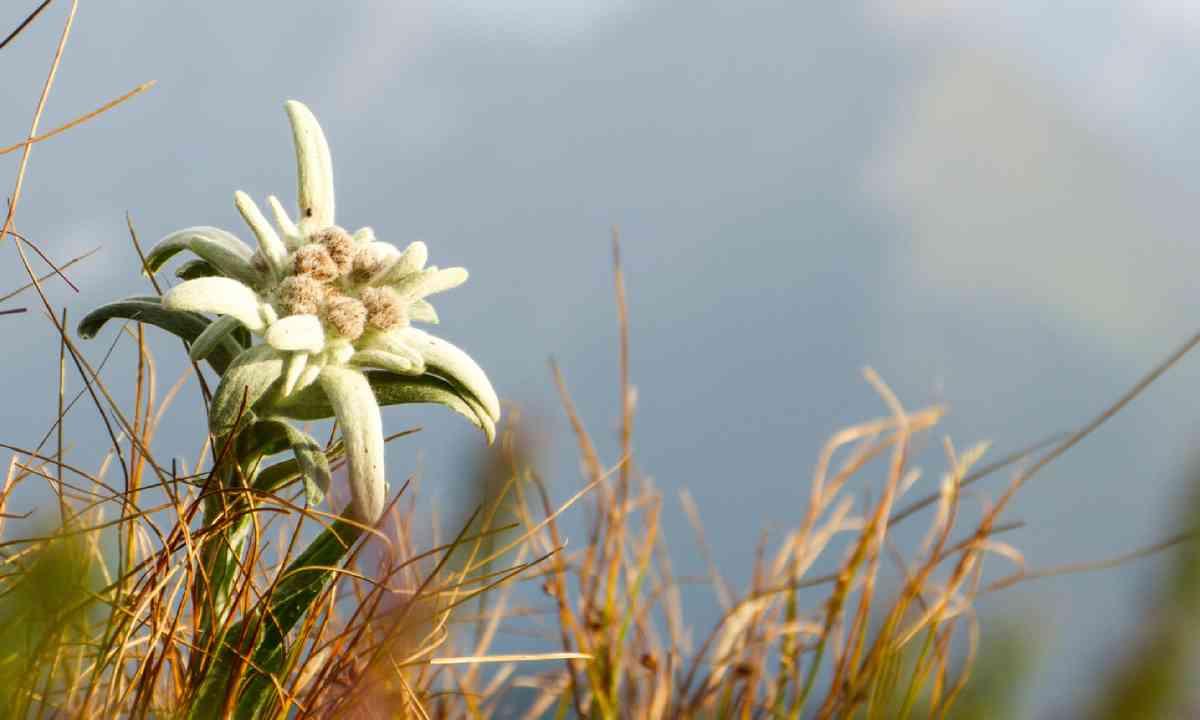 Edelweiss (Shutterstock)