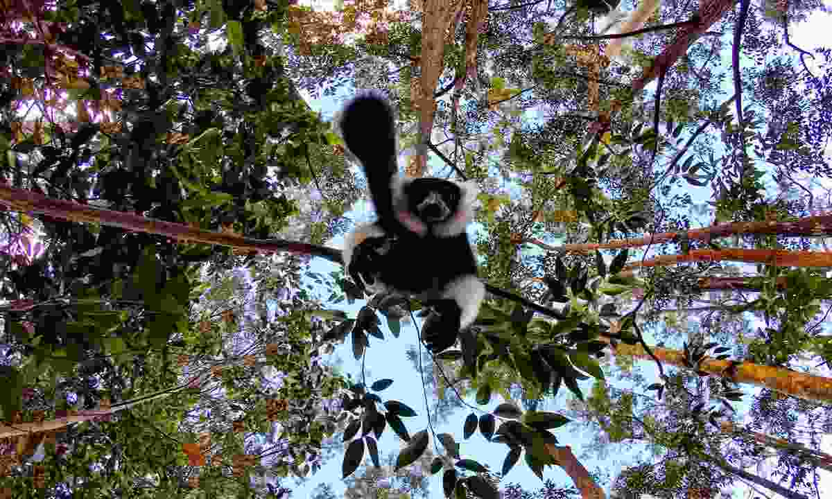 A lemur hanging from a tree in Andasibe-Mantadia National Park (Shutterstock)