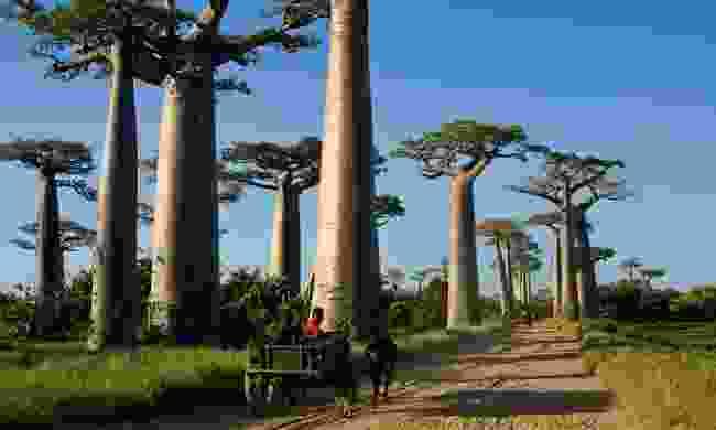 A zebu wagon makes its way through the Avenue of Baobabs (Shutterstock)