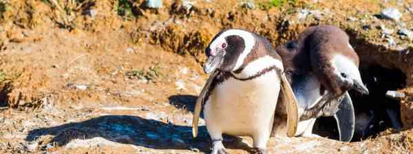 Chile's Magellanic penguins (Dreamstime)