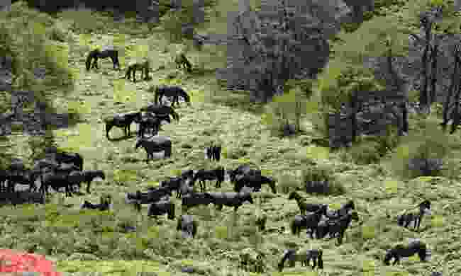 Chile's huge her of wild horses (Phoebe Smith)
