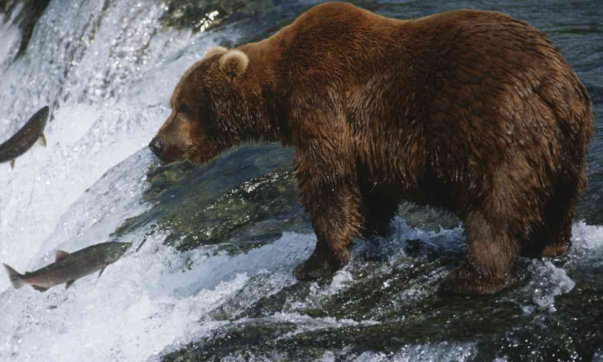 Grizzly bear fishing for salmon (Shutterstock)