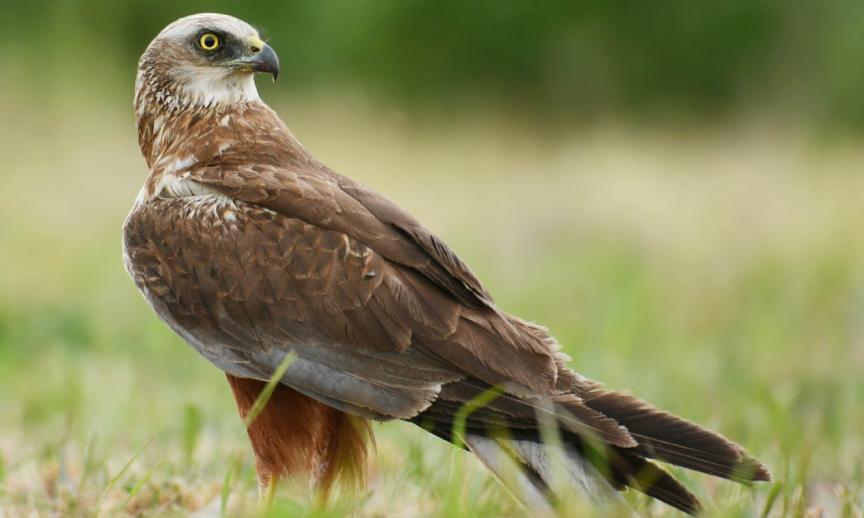 A marsh harrier (Shutterstock)