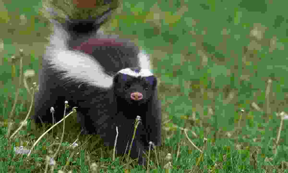 The strangely cute Humboldt's hog-nosed skunk