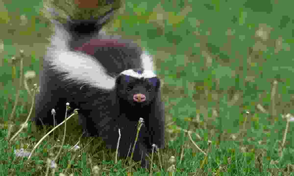 The strangely cute Humboldt's hog-nosed skunk