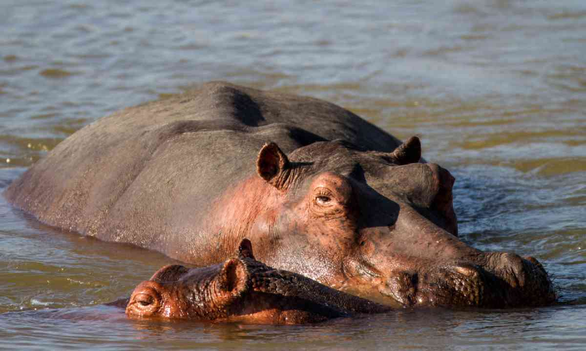 Hippos in South Luangwa National Park (Shutterstock)