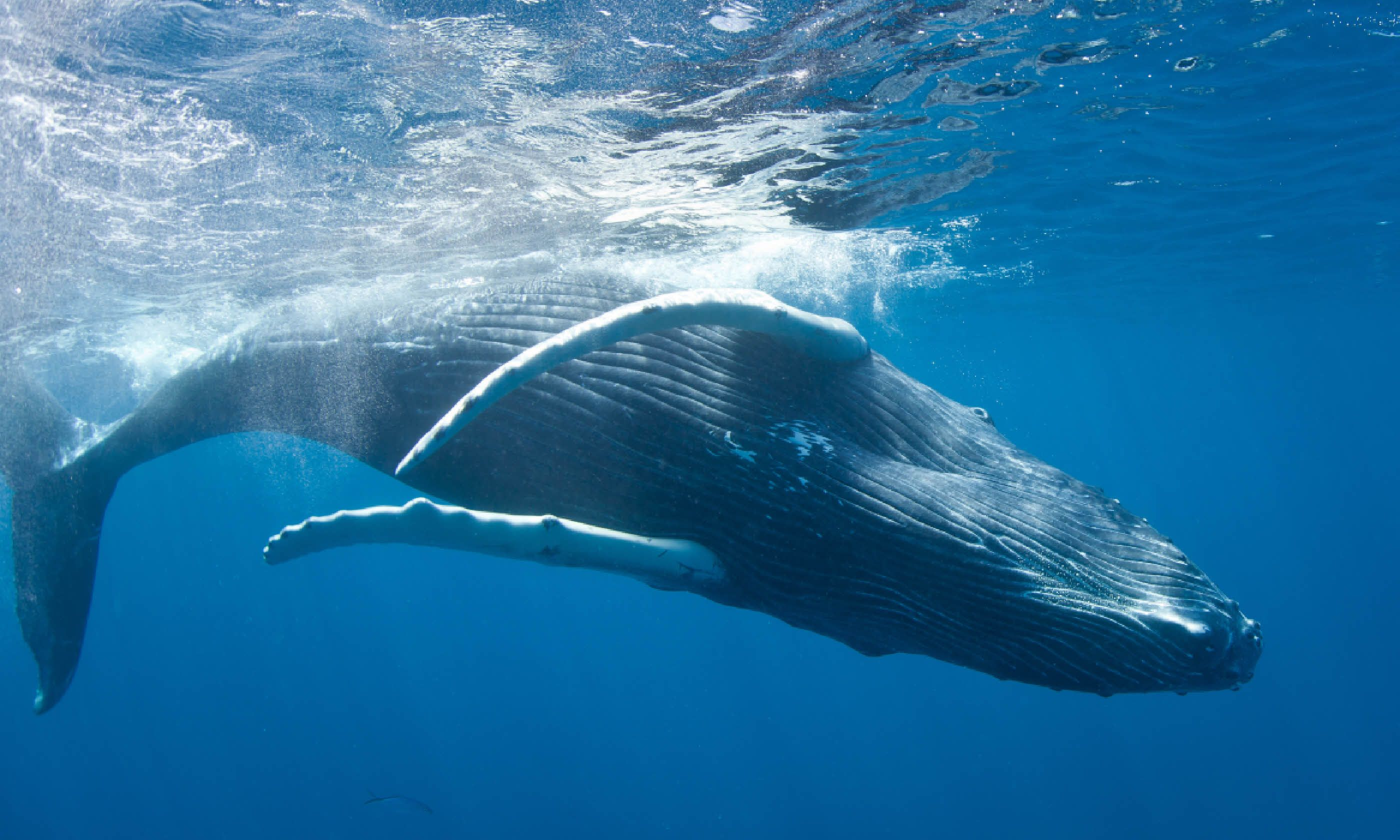 A humpback whale (Shutterstock)