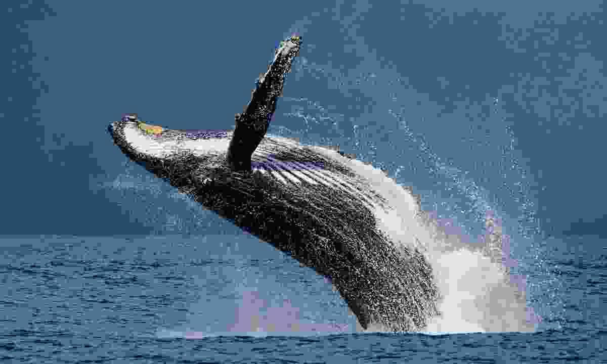 A humpback breaching in Madagascar (Shutterstock)