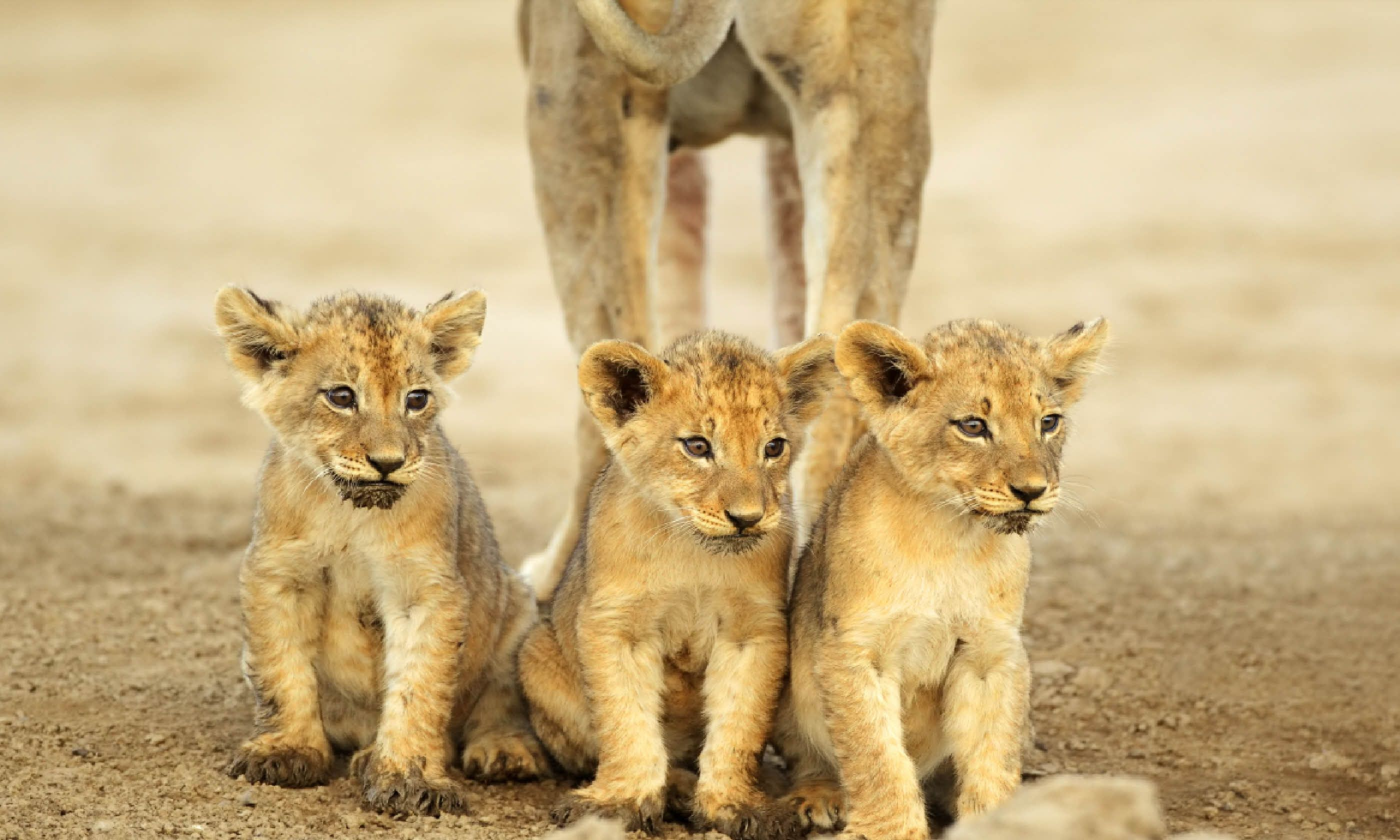 Lion cubs in the Kalahari desert (Shutterstock)