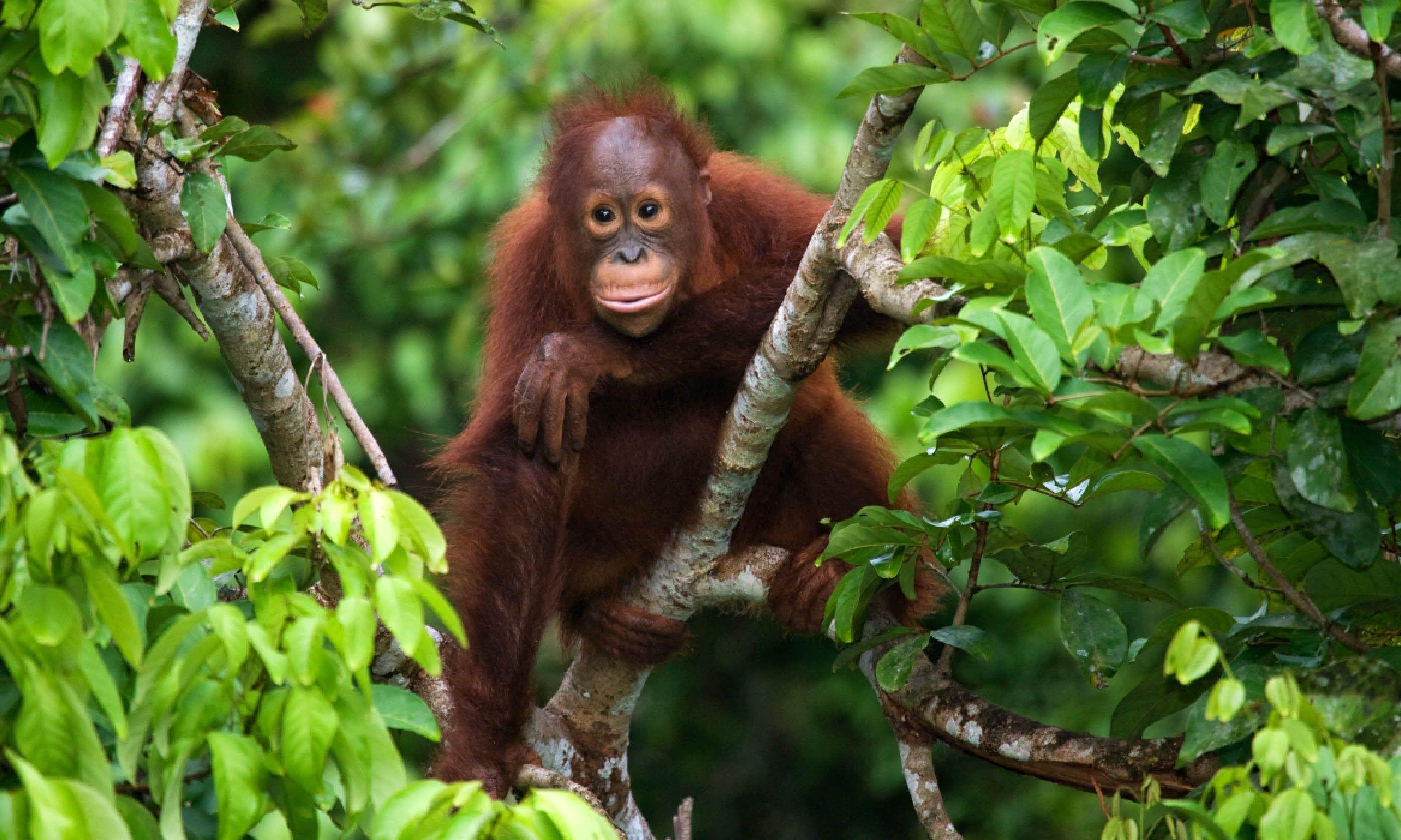A baby orangutan in Indonesia (Shutterstock)