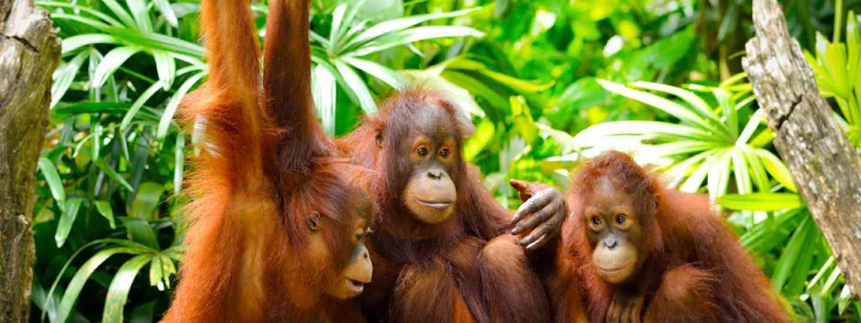 Three orangutans (Shutterstock)